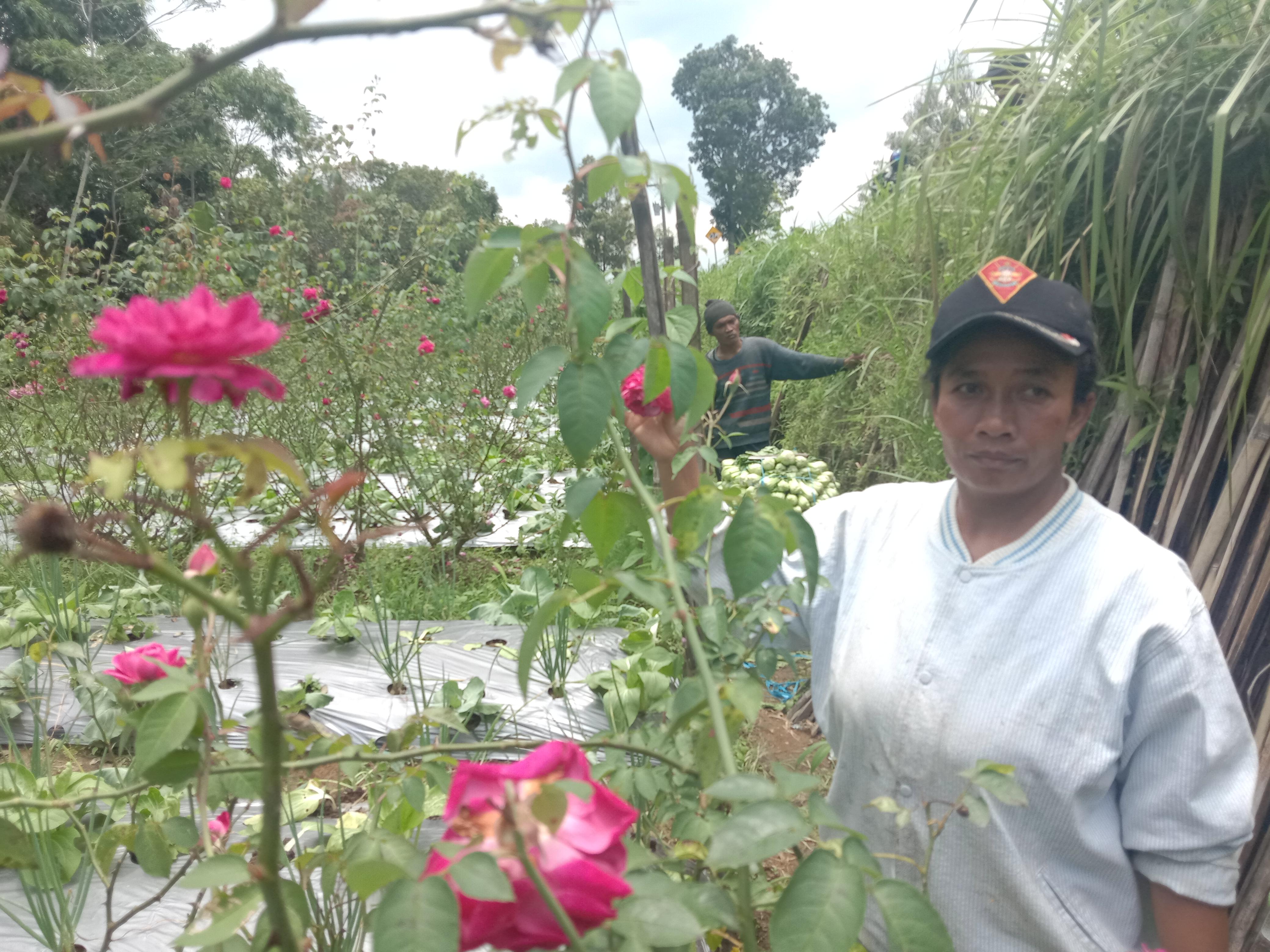 Berita Magelang Bunga Mawar Jadi Salah Satu Komoditas Unggulan Petani Pakis